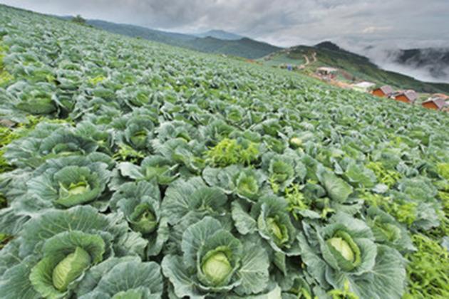 alimentos-que-melhoram-a-disposição-couve-plantação-15